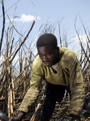 sugar cane cutting cropped